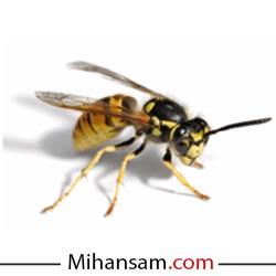 زنبور وحشی