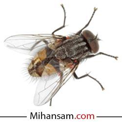 شناخت مگس و بیماری های ناشی از آن