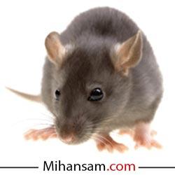 موش موجودی است که خسارات زیادی برای جامعه انسانی به بار می آورد