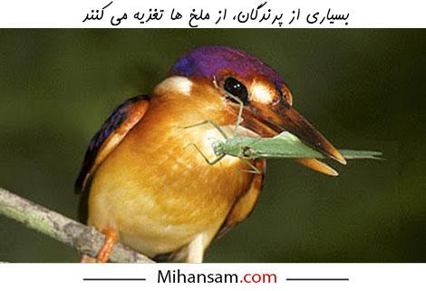 پرندگان از شکارچیان ملخ ها به شمار می آیند و می توانند در فرآیند کنترل بیولوژیکی ملخ ها مؤثر باشند