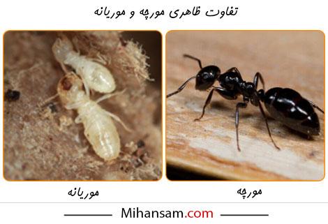 موریانه ها چه تفاوتی با مورچه ها دارند؟