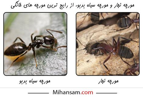 مورچه های رایج در خانه ها، مورچه های نجار و مورچه های سیاه بدبو