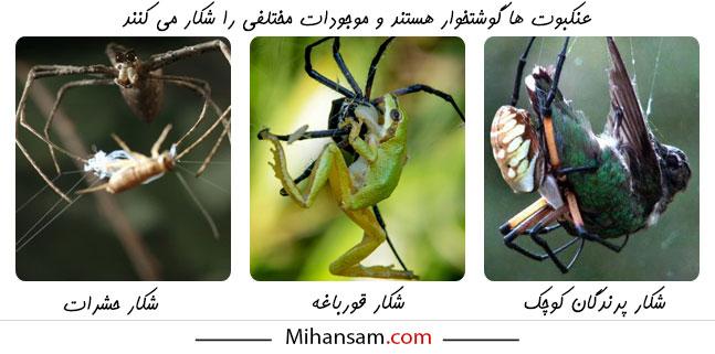 عنکبوت ها توانایی شکار موجودات بسیار بزرگتر از خود را نیز دارند