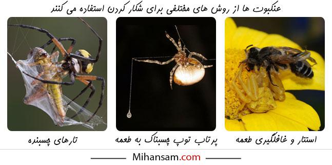 نحوه شکار کردن انواع عنکبوت