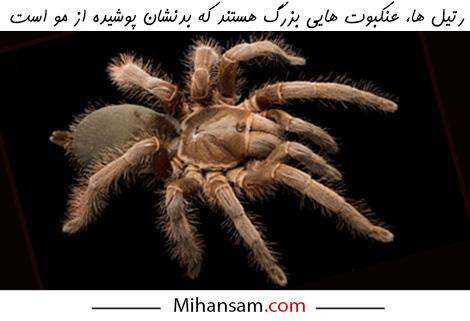 تشخیص رتیل از عنکبوت