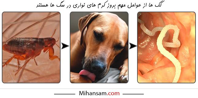 لیسیدن بدن در سگ ها می تواند نشانه ای برای ابتلا به کرم های نواری باشد