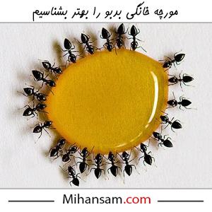 مورچه سیاه بدبو