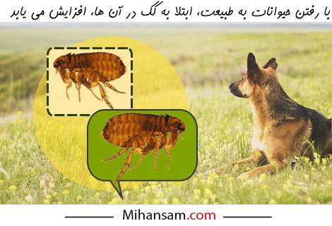 افزایش احتمال ابتلا به کک در حیوانات