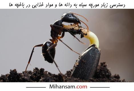 باغچه یکی از مکان های محبوب برای تغذیه و لانه سازی مورچه های سیاه بدبو است