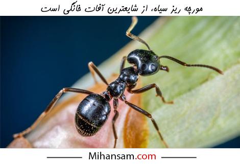 مورچه سیاه بدبو یکی از آفات شایع خانگی است